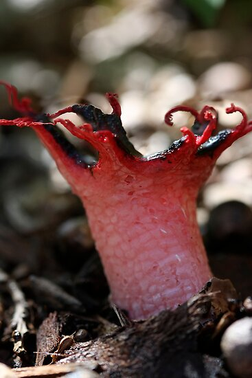 Aseroe rubra, The anemone stinkhorn or sea anemone fungus by Normf
