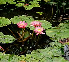 Pink water lillies and leaves over dark water. by Marilyn Baldey