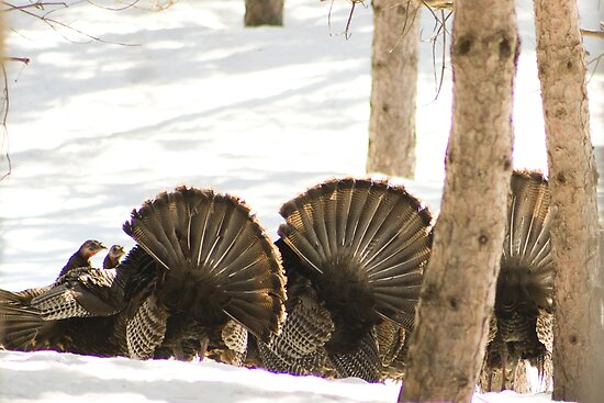 Mooned!.....by wild Turkeys by Sean McConnery