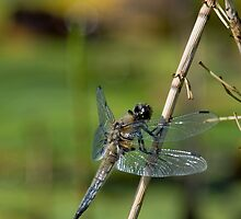 Four Spotted Chaser - Dragonfly by Keith Dunning
