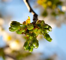 Cherry Buds by Marc Garrido Clotet