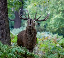 Red Deer Stag by Keith Dunning