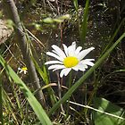 Daisy in the Wild by janetmarston