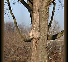 """Can you help me identify this """"Nut"""" tree? by PamelaJoPhoto"""
