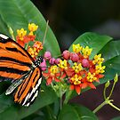 a passion for lantana by VickiOBrien