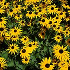 Black eyed susans by katymanrique