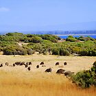 Sheep grazing near the ocean in Tasmania, Australia by Catherine Sherman