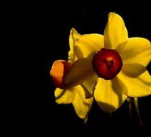 Daffodils by Jeremy Owen