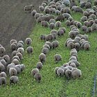 sheep grazing by nathanw08