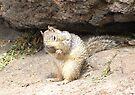 Shy Rock Squirrel  by Kimberly Chadwick