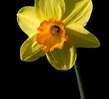 Daffodil by Jeremy Owen