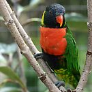 Lorikeet by Virginia N. Fred