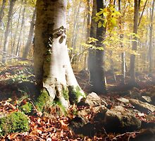 Beech forest by emadrazo