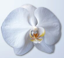 Orchid Blossom by Roger Otto