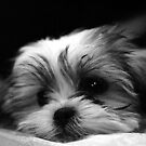 Shitzu/Maltese Mix Puppy by Ryan Houston