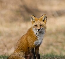 Vixen Portrait by Jay Ryser