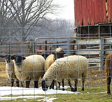 No. 3 Sheep on the Farm by MichiganGirl