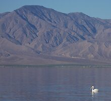American White Pelican (Salton Sea) by Jillian Johnston