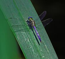 Dragonfly by laureenr