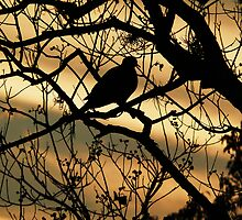Silhouetted Dove by Peri
