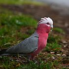 Pink Galah by Erland Howden