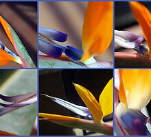 Around a Strelitzia by sstarlightss