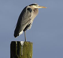 Great Blue Heron on Post by Jillian Johnston