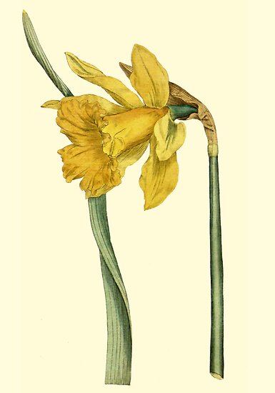 Daffodil Flower Botanical by Zehda