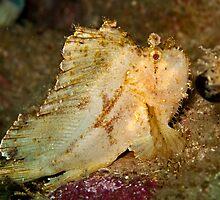Leaf Scorpionfish (1) by Marcel Botman