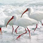 White Ibis in Foam by Karen Checca