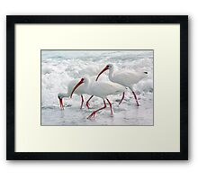 White Ibis in Foam Framed Print