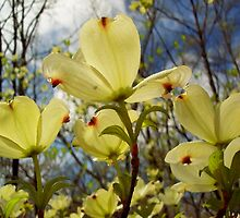 Dogwood Blossoms In The Sun by NatureGreeting Cards ©ccwri