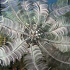 Feather Star (close-up) by Marcel Botman