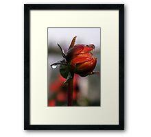 Dahlia in Autumn Framed Print