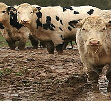 Cows in the mud by DIANE  FIFIELD