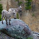 Bighorn Lambs Looking Into Canyon by A.M. Ruttle