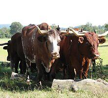 Working Bullocks by Lyn  Thomsen