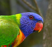 Rainbow  Lorikeet III by Tom Newman