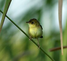 Yellow Thornbill by Jane Marin
