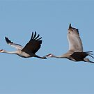 Sandhill Crains In Flight by Tim Wright