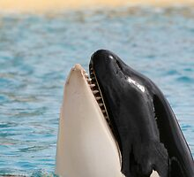 Orca Whale in Loro park Tenerife saying hello! by Keith Larby