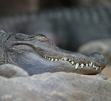 Alligator in loro park tenerife by Keith Larby