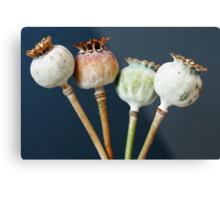 Poppy seed pods Metal Print