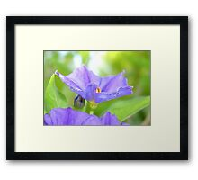 Close Up Solanum Rantonnetii - Royal Robe Framed Print