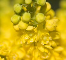 Mahonia by Neil Bygrave (NATURELENS)