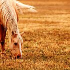 Horse in Pasture by cshphotos