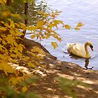 Peaceful Swan by cshphotos