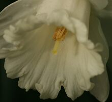 White Daffodil by Pamela Jayne Smith