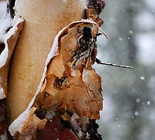 Appealing River Birch by Catherine Sherman