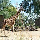 Young Giraffe by heyitsmefi